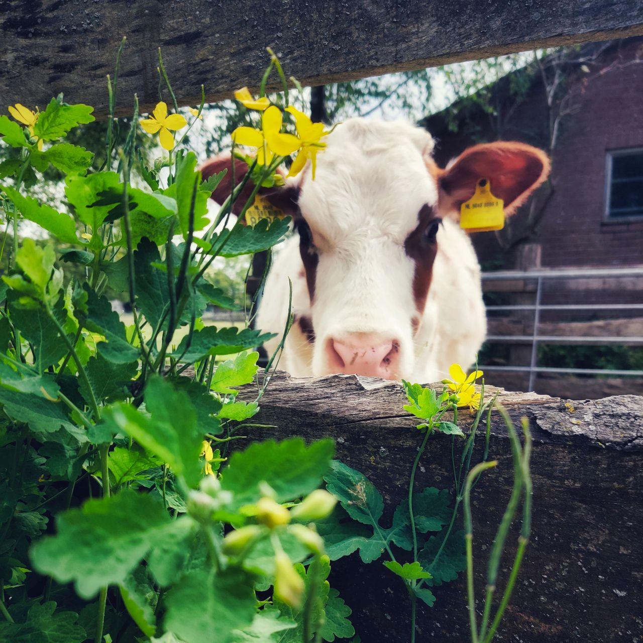 De Kleine Wildenberg Deventer koe