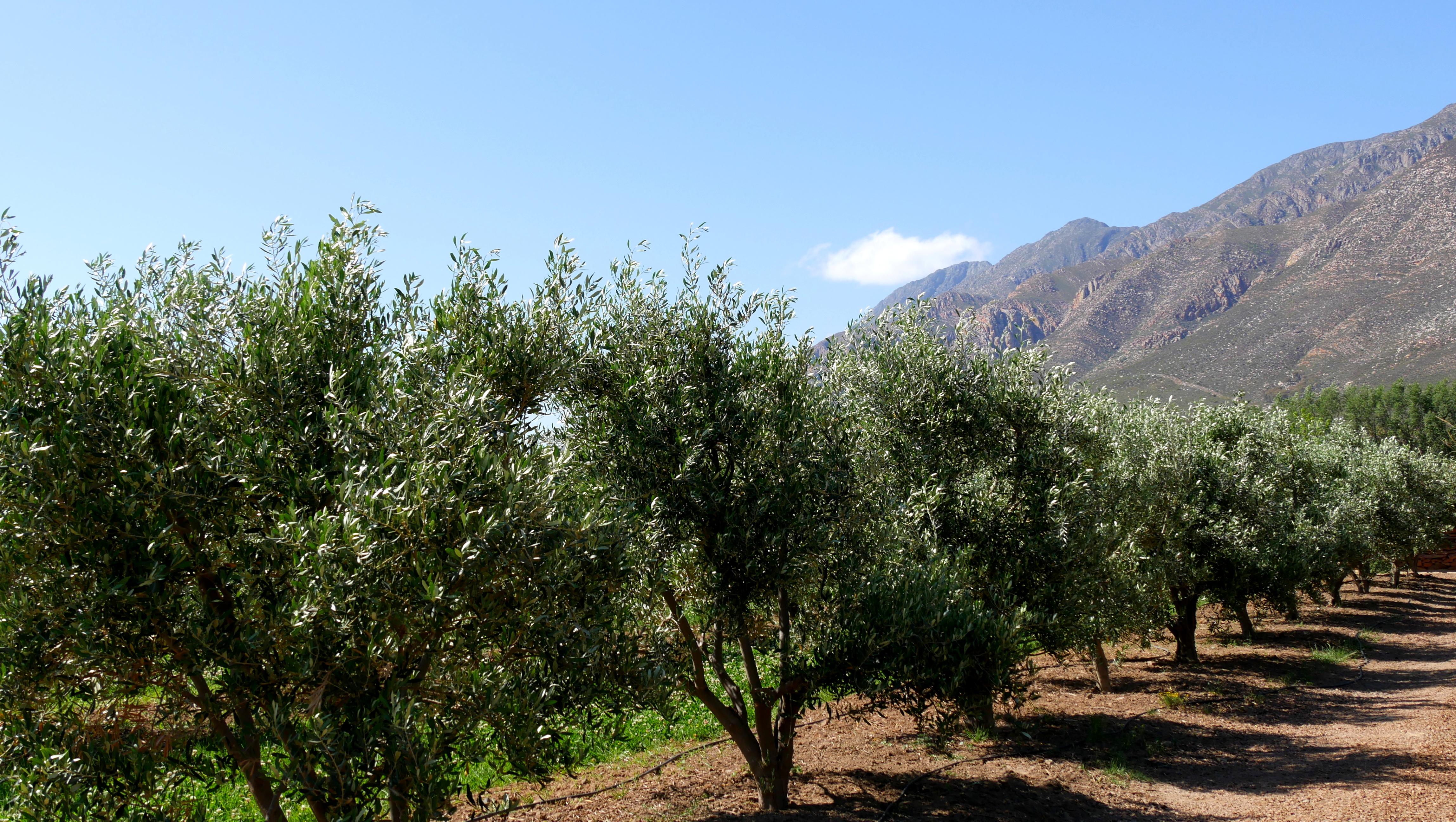 Olive Stone Farm Montagu olive trees